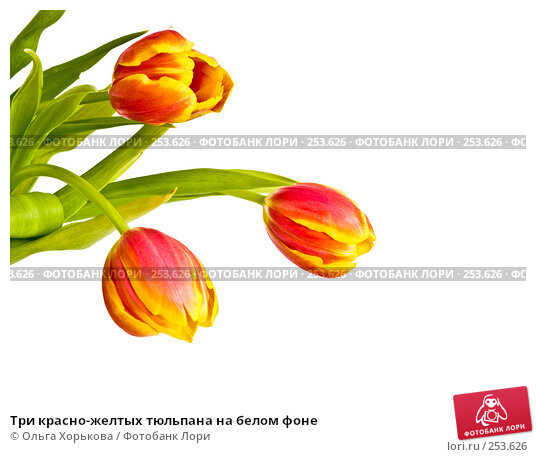 Три красно-желтых тюльпана на белом фоне, фото № 253626, снято 8 марта 2008 г. (c) Ольга Хорькова / Фотобанк Лори