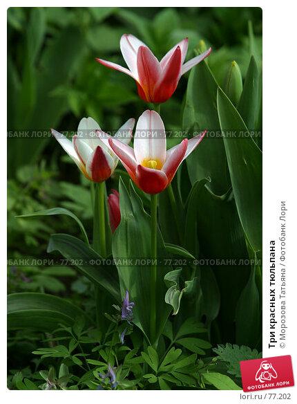 Три красных тюльпана, фото № 77202, снято 7 мая 2006 г. (c) Морозова Татьяна / Фотобанк Лори