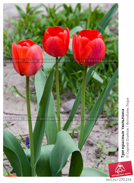 Три красных тюльпана, фото № 270214, снято 16 апреля 2008 г. (c) Сергей Осипов / Фотобанк Лори