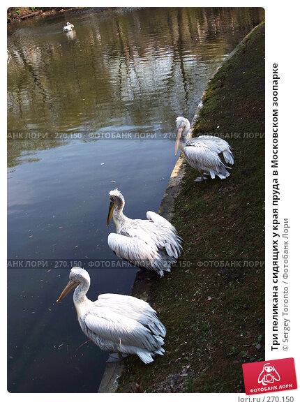 Купить «Три пеликана сидящих у края пруда в Московском зоопарке», фото № 270150, снято 12 апреля 2008 г. (c) Sergey Toronto / Фотобанк Лори