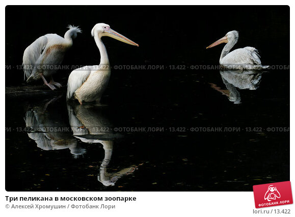 Три пеликана в московском зоопарке, фото № 13422, снято 28 сентября 2006 г. (c) Алексей Хромушин / Фотобанк Лори