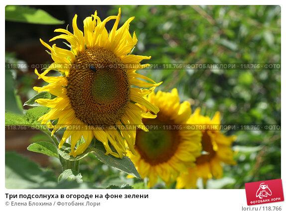 Три подсолнуха в огороде на фоне зелени, фото № 118766, снято 21 июля 2007 г. (c) Елена Блохина / Фотобанк Лори