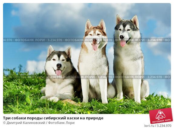 Купить «Три собаки породы сибирский хаски на природе», фото № 3234970, снято 11 марта 2018 г. (c) Дмитрий Калиновский / Фотобанк Лори