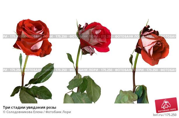 Три стадии увядания розы, фото № 175250, снято 27 марта 2007 г. (c) Солодовникова Елена / Фотобанк Лори