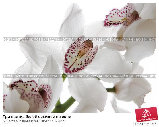 Три цветка белой орхидеи на окне, фото № 193214, снято 17 января 2017 г. (c) Светлана Кучинская / Фотобанк Лори