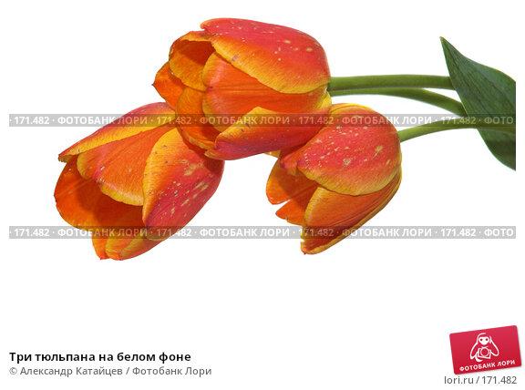 Три тюльпана на белом фоне, фото № 171482, снято 25 апреля 2007 г. (c) Александр Катайцев / Фотобанк Лори