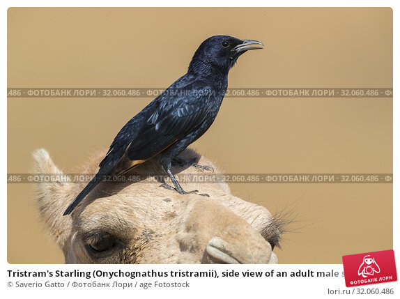 Tristram's Starling (Onychognathus tristramii), side view of an adult male standing on the head of a Dromedary Camel. Стоковое фото, фотограф Saverio Gatto / age Fotostock / Фотобанк Лори