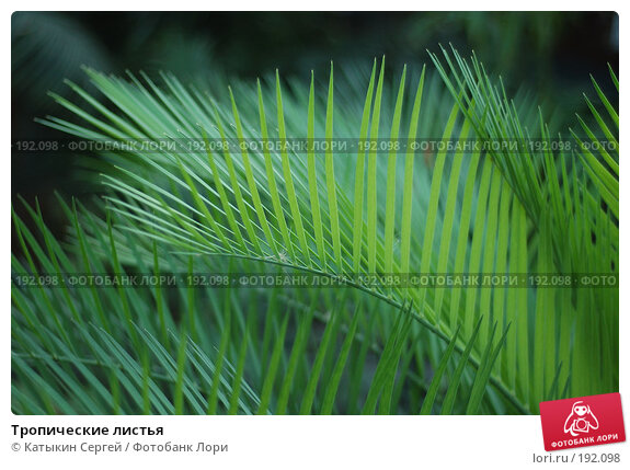 Тропические листья, фото № 192098, снято 5 января 2008 г. (c) Катыкин Сергей / Фотобанк Лори