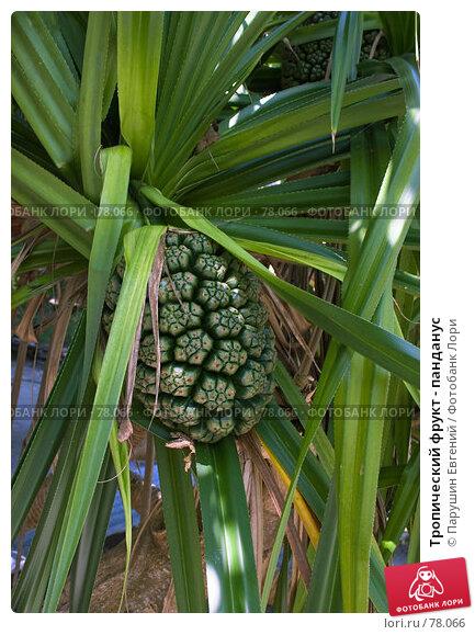 Купить «Тропический фрукт - панданус», фото № 78066, снято 20 апреля 2018 г. (c) Парушин Евгений / Фотобанк Лори