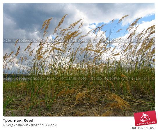 Тростник. Reed, фото № 130050, снято 23 июля 2005 г. (c) Serg Zastavkin / Фотобанк Лори
