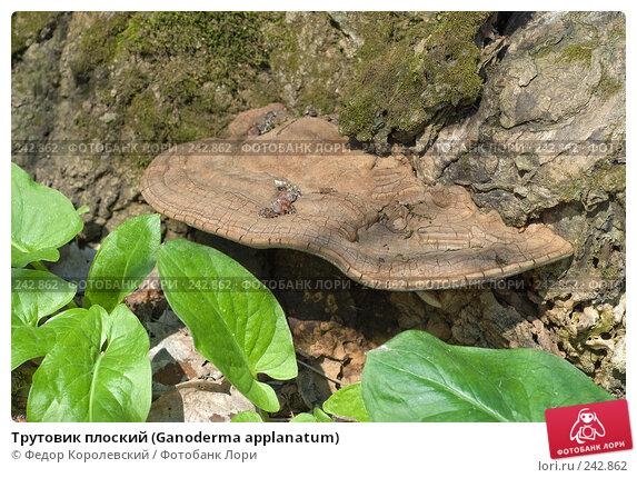Трутовик плоский (Ganoderma applanatum), фото № 242862, снято 4 апреля 2008 г. (c) Федор Королевский / Фотобанк Лори
