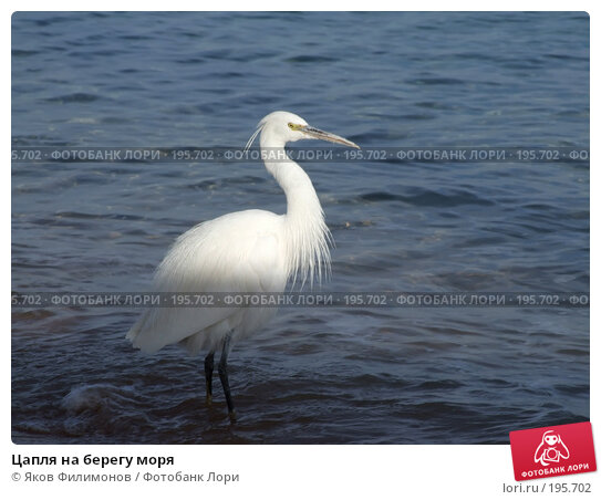 Цапля на берегу моря, фото № 195702, снято 19 января 2008 г. (c) Яков Филимонов / Фотобанк Лори