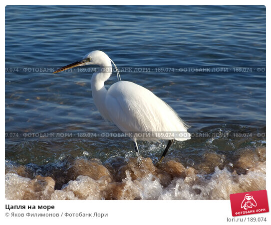 Цапля на море, фото № 189074, снято 16 января 2008 г. (c) Яков Филимонов / Фотобанк Лори