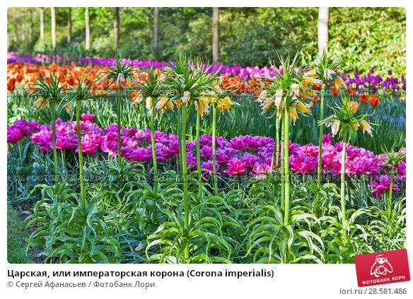 Купить «Царская, или императорская корона (Corona imperialis)», фото № 28581486, снято 4 мая 2018 г. (c) Сергей Афанасьев / Фотобанк Лори