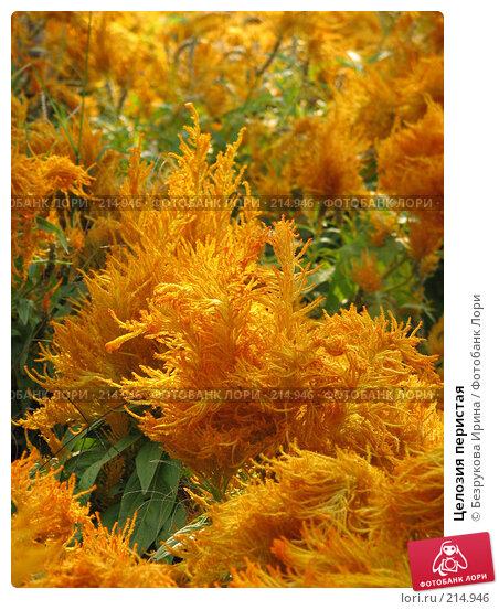 Целозия перистая, эксклюзивное фото № 214946, снято 5 ноября 2007 г. (c) Безрукова Ирина / Фотобанк Лори