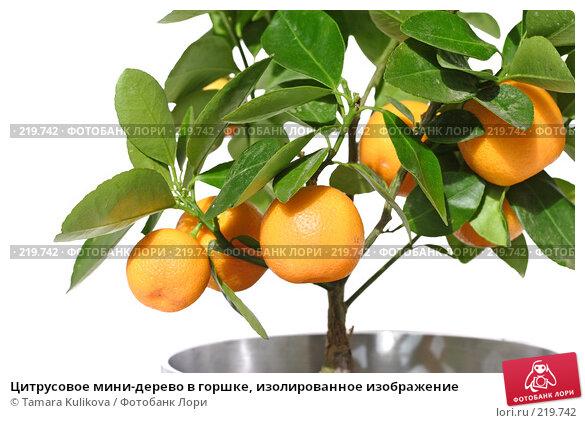 Цитрусовое мини-дерево в горшке, изолированное изображение, фото № 219742, снято 9 марта 2008 г. (c) Tamara Kulikova / Фотобанк Лори