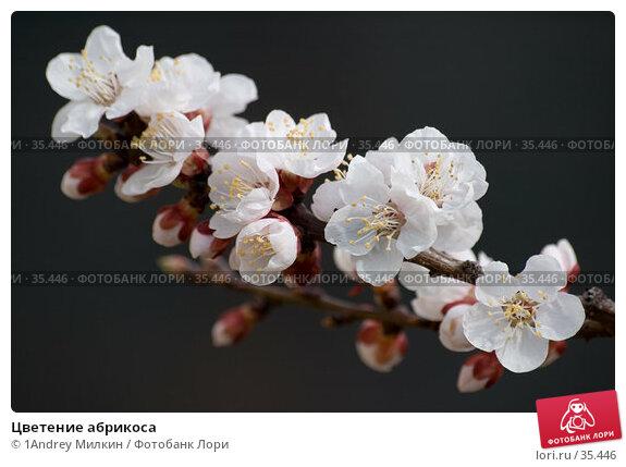 Цветение абрикоса, фото № 35446, снято 24 апреля 2007 г. (c) 1Andrey Милкин / Фотобанк Лори