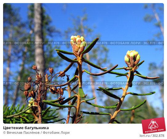 Цветение багульника, фото № 302878, снято 20 июня 2007 г. (c) Вячеслав Паслёнов / Фотобанк Лори
