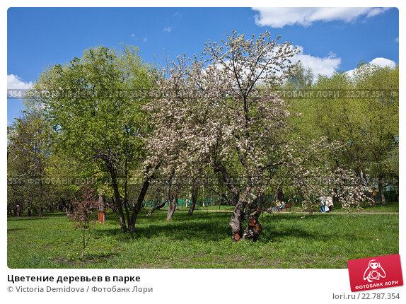 Купить «Цветение деревьев в парке», фото № 22787354, снято 7 мая 2016 г. (c) Victoria Demidova / Фотобанк Лори