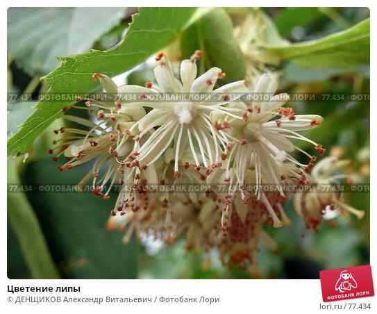 Цветение липы, фото № 77434, снято 4 июля 2007 г. (c) ДЕНЩИКОВ Александр Витальевич / Фотобанк Лори