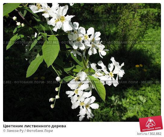 Цветение лиственного дерева, фото № 302882, снято 24 мая 2008 г. (c) Заноза-Ру / Фотобанк Лори