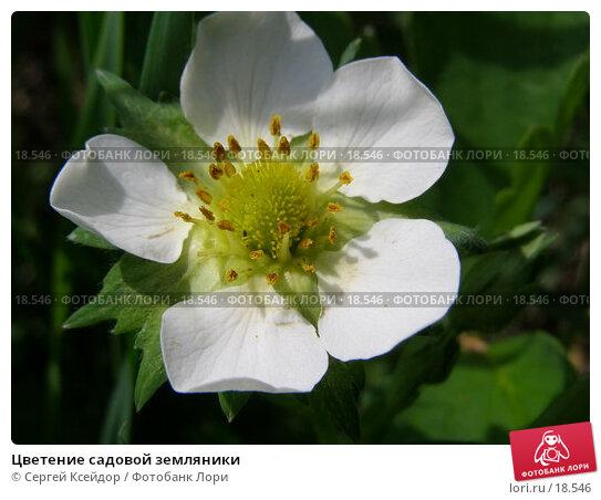 Цветение садовой земляники, фото № 18546, снято 1 июня 2006 г. (c) Сергей Ксейдор / Фотобанк Лори