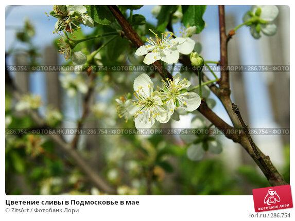 Купить «Цветение сливы в Подмосковье в мае», фото № 286754, снято 15 мая 2008 г. (c) ZitsArt / Фотобанк Лори