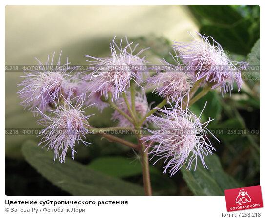 Цветение субтропического растения, фото № 258218, снято 12 апреля 2008 г. (c) Заноза-Ру / Фотобанк Лори