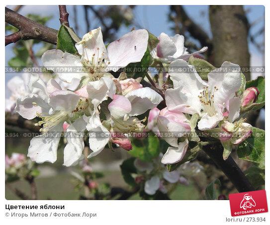 Купить «Цветение яблони», фото № 273934, снято 4 мая 2008 г. (c) Игорь Митов / Фотобанк Лори