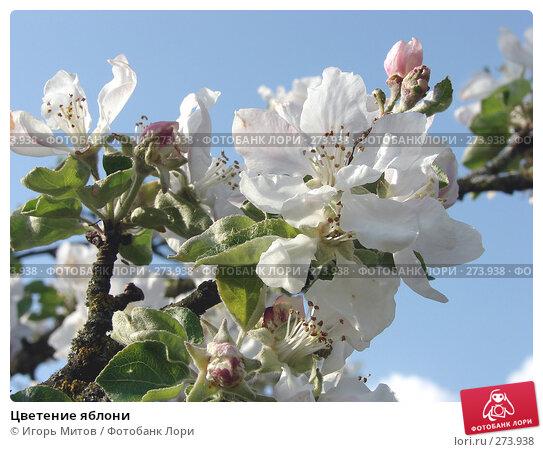 Купить «Цветение яблони», фото № 273938, снято 4 мая 2008 г. (c) Игорь Митов / Фотобанк Лори