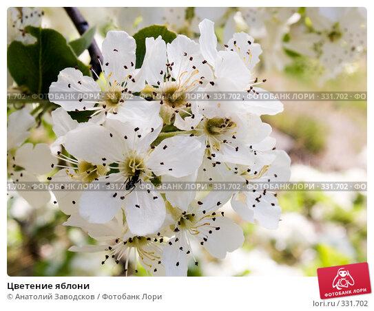 Цветение яблони, фото № 331702, снято 4 мая 2007 г. (c) Анатолий Заводсков / Фотобанк Лори