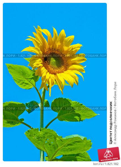 Купить «Цветет подсолнечник», фото № 1821182, снято 6 июля 2010 г. (c) Александр Романов / Фотобанк Лори