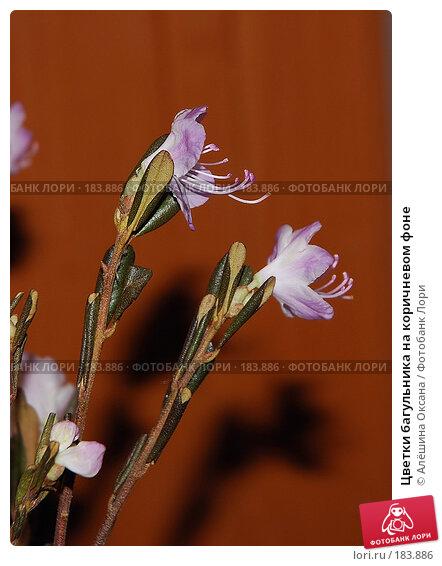 Цветки багульника на коричневом фоне, эксклюзивное фото № 183886, снято 19 января 2008 г. (c) Алёшина Оксана / Фотобанк Лори