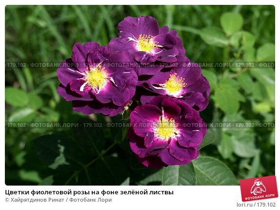 Цветки фиолетовой розы на фоне зелёной листвы, фото № 179102, снято 31 июля 2007 г. (c) Хайрятдинов Ринат / Фотобанк Лори