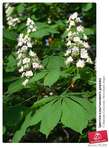 Цветки каштанового дерева, фото № 75270, снято 29 мая 2007 г. (c) Максим Соколов / Фотобанк Лори