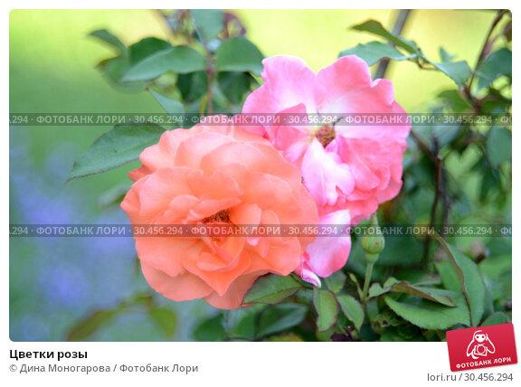 Цветки розы. Стоковое фото, фотограф Дина Моногарова / Фотобанк Лори