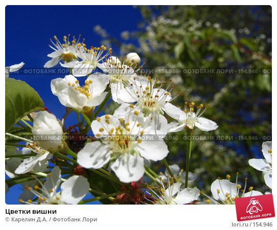Цветки вишни, фото № 154946, снято 16 мая 2005 г. (c) Карелин Д.А. / Фотобанк Лори