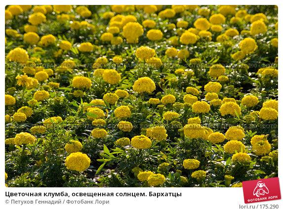 Цветочная клумба, освещенная солнцем. Бархатцы, фото № 175290, снято 23 июня 2007 г. (c) Петухов Геннадий / Фотобанк Лори