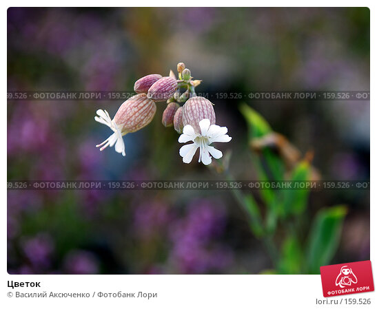 Цветок, фото № 159526, снято 20 июля 2007 г. (c) Василий Аксюченко / Фотобанк Лори