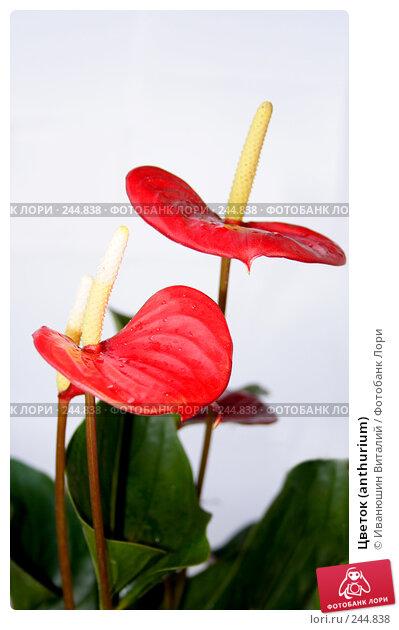 Цветок (anthurium), фото № 244838, снято 26 марта 2017 г. (c) Иванюшин Виталий / Фотобанк Лори