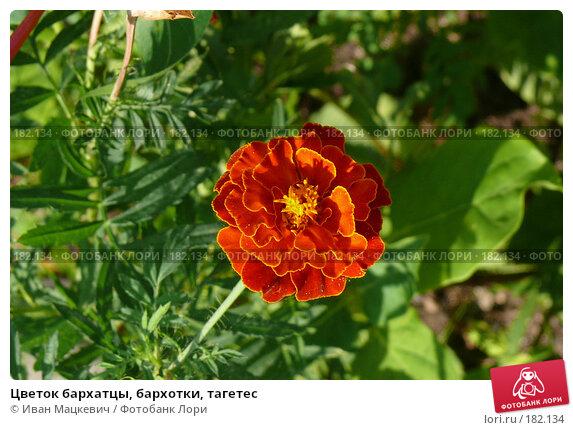 Цветок бархатцы, бархотки, тагетес, фото № 182134, снято 5 сентября 2007 г. (c) Иван Мацкевич / Фотобанк Лори