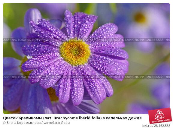 Купить «Цветок брахикомы (лат. Brachycome iberidifolia) в капельках дождя», эксклюзивное фото № 28162538, снято 21 августа 2017 г. (c) Елена Коромыслова / Фотобанк Лори