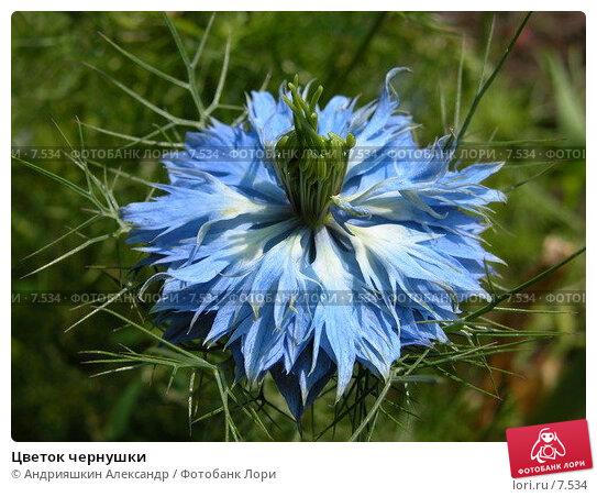 Купить «Цветок чернушки», фото № 7534, снято 17 июля 2005 г. (c) Андрияшкин Александр / Фотобанк Лори