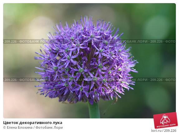 Цветок декоративного лука, фото № 209226, снято 21 мая 2007 г. (c) Елена Блохина / Фотобанк Лори