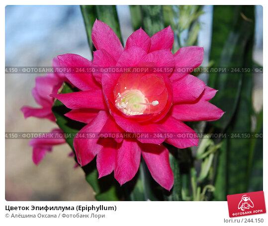 Цветок Эпифиллума (Epiphyllum), эксклюзивное фото № 244150, снято 1 апреля 2008 г. (c) Алёшина Оксана / Фотобанк Лори
