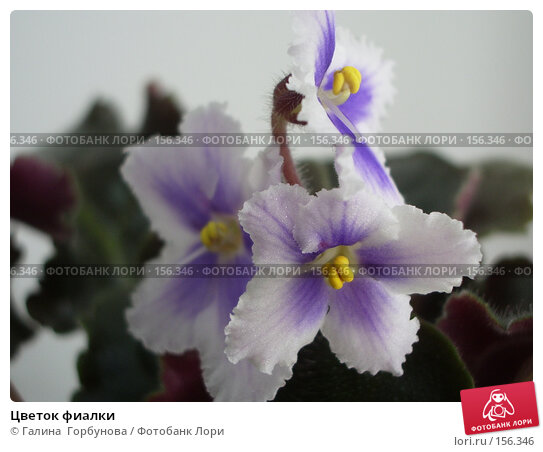 Цветок фиалки, фото № 156346, снято 14 апреля 2006 г. (c) Галина  Горбунова / Фотобанк Лори