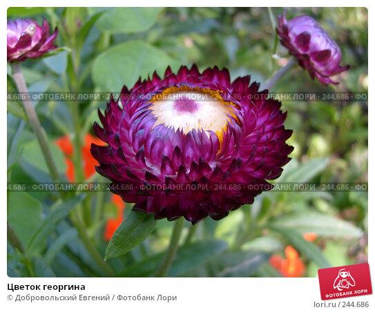Цветок георгина, фото № 244686, снято 14 августа 2007 г. (c) Добровольский Евгений / Фотобанк Лори