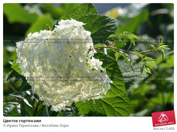 Купить «Цветок гортензии», эксклюзивное фото № 1410, снято 18 сентября 2005 г. (c) Ирина Терентьева / Фотобанк Лори