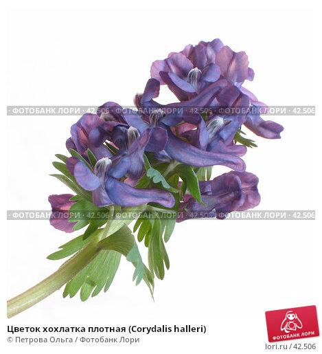 Цветок хохлатка плотная (Corydalis halleri), фото № 42506, снято 7 апреля 2007 г. (c) Петрова Ольга / Фотобанк Лори
