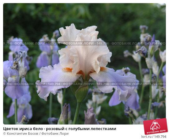 Цветок ириса бело - розовый с голубыми лепестками, фото № 149794, снято 24 мая 2005 г. (c) Константин Босов / Фотобанк Лори